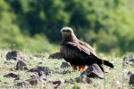 Black Kite/Milvus migrans - Photographer: Светослав Спасов