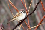 Eurasian Tree Sparrow/Passer montanus - Photographer: Светослав Спасов