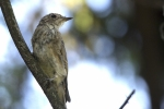 Spotted Flycatcher/Muscicapa striata - Photographer: Бисер Тодоров