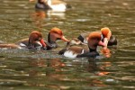 Family Waterfowl, Red-crested Pochard/Netta rufina