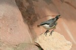 Family Nuthatches, Western Rock-nuthatch/Sitta neumayer