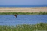 Ferruginous Duck/Aythya nyroca - Photographer: Светослав Спасов