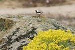 Family Thrushes, Black-eared Wheatear/Oenanthe hispanica - Photographer: Емил Енчев