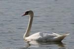 Mute Swan/Cygnus olor - Photographer: Светослав Спасов