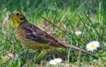 Yellowhammer/Emberiza citrinella - Photographer: Весела Банова