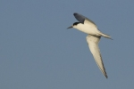 Family Gulls, Terns, Gull-billed Tern/Gelochelidon nilotica