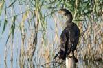 Great Cormorant/Phalacrocorax carbo - Photographer: Младен Василев