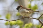 House Sparrow/Passer domesticus - Photographer: Sergey Panayotov