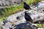 Family Crows, Yellow-billed Chough/Pyrrhocorax graculus