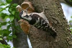 Lesser Spotted Woodpecker/Dendrocopos minor - Photographer: Емил Енчев