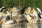 Great White Pelican/Pelecanus onocrotalus - Photographer: Емил Енчев