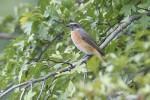 Common Redstart/Phoenicurus phoenicurus - Photographer: Sergey Panayotov
