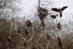 Малък корморан/Phalacrocorax pygmeus - Фотограф: Sergey Panayotov