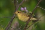 Willow Warbler/Phylloscopus trochilus - Photographer: Николай Стайков