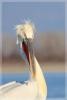 Dalmatian Pelican/Pelecanus crispus - Photographer: Georgi Slavov
