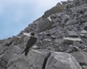 Peregrine Falcon/Falco peregrinus - Photographer: Иво Дамянов