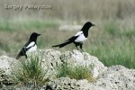 Black-billed Magpie/Pica pica - Photographer: Sergey Panayotov