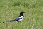 Black-billed Magpie/Pica pica - Photographer: Светослав Спасов
