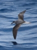 Fea's Petrel/Pterodroma feae, Family Shearwaters