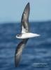 Zino's Petrel/Pterodroma madeira, Family Shearwaters