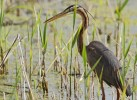 Family Herons, Bitterns, Purple Heron/Ardea purpurea
