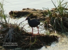 Purple Swamp-hen/Porphyrio porphyrio, Family Rails