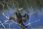 Pygmy Cormorant/Phalacrocorax pygmeus - Photographer: Светослав Спасов