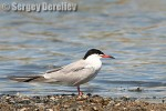 Common Tern/Sterna hirundo - Photographer: Сергей Дерелиев