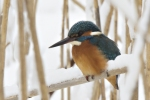 Common Kingfisher/Alcedo atthis, Family Kingfishers