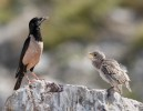 Family Starlings, Rosy Starling/Sturnus roseus - Photographer: Иво Дамянов