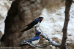 Barn Swallow/Hirundo rustica - Photographer: Светослав Спасов