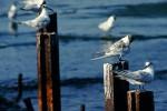 Sandwich Tern/Sterna sandvicensis - Photographer: Sergey Panayotov