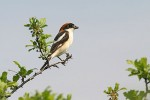 Woodchat Shrike/Lanius senator - Photographer: Емил Енчев