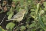 Sedge Warbler/Acrocephalus schoenobaenus, Family Warblers