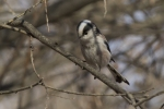 Long-tailed Tit/Aegithalos caudatus, Family Long-tailed Tits