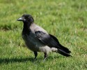 Family Crows, Hooded Crow/Corvus cornix