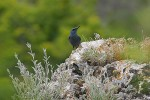 Family Thrushes, Blue Rock-thrush/Monticola solitarius