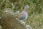 Laughing Dove/Streptopelia senegalensis - Photographer: Ники Петков