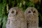 Family Owls, Tawny Owl/Strix aluco - Photographer: Светослав Спасов