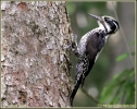 Family Woodpeckers, Three-toed Woodpecker/Picoides tridactylus