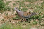 European Turtle-dove/Streptopelia turtur - Photographer: Емил Енчев