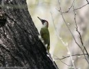 Eurasian Green Woodpecker/Picus viridis - Photographer: Светослав Спасов