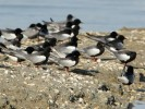 Family Gulls, Terns, White-winged Tern/Chlidonias leucopterus - Photographer: Иво Дамянов