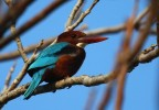 Family Kingfishers, White-throated Kingfisher/Halcyon smyrnensis