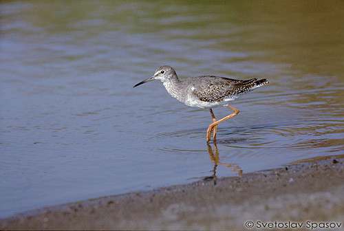 Common Redshank/Tringa totanus - Photographer: Светослав Спасов