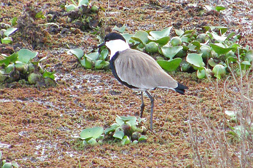 Spur-winged Lapwing/Vanellus spinosus - Photographer: Ники Петков