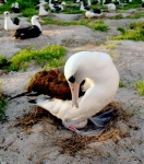 Wisdom the Laysan Albatross Lays an Egg - at Age 63