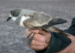 First nest colony of Ringed Storm-petrel found in the Atacama Desert