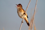 Europe's song birds perfect their tunes when wintering in Africa