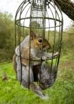 New European birdfeeder threat – American seed-thieving gray squirrels
